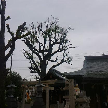 神社の植木剪定後