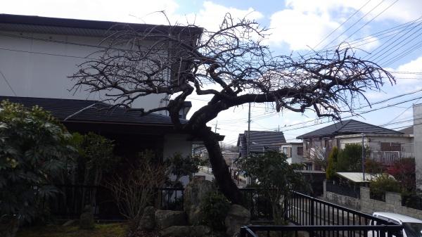 大阪府植木剪定後1